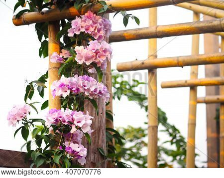 Violet Flower Creeper Plant Climbing On The Bamboo Roof Frame For The Garden Decoration.