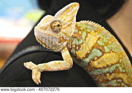 Veiled Chameleon (chamaeleo Calyptratus) Close-up On Owners Shoulder. Madagascar Endemic Panther Cha