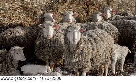Sheep Lamb Ewe Farm For Wool & Meat. Flock Staring Gray Sheep In Lamb Paddock. Domestic Ewe Animal F