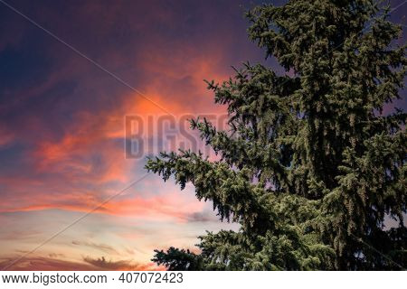 Spruce Tree On Beautiful Dramatic Pink Sky Background. Colorful Twilight Sky With Silhouette Of Spru