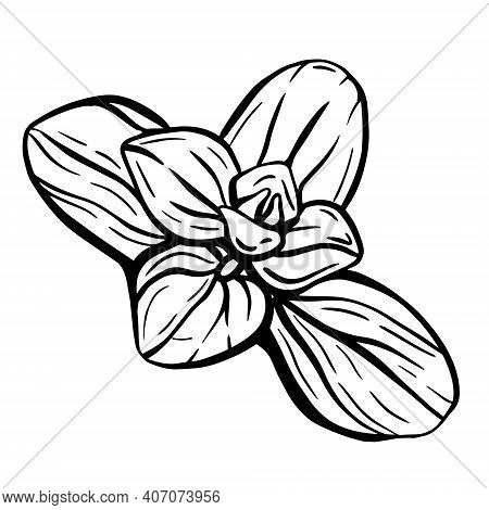 Oregano Leaves Isolated On A White Background. Oregano Is A Flavorful Condiment. Hand-drawn Sketch