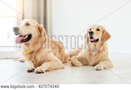 Pair of golden retrievers wearing handkerchiefs