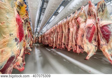 Lots Of Beef Carcasses Hang In The Large Refrigerator. Refrigerating Chamber For Preliminary Cooling