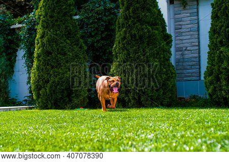 Dog Breed Dogue De Bordeaux, Bordeaux Mastiff, French Mastiff, Bullmastiff Playing On The Lawn On Th