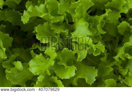 Green Lettuce Salad Leaves. Green Salad In The Garden. Fresh Salad For Making Healthy Salad. Green L