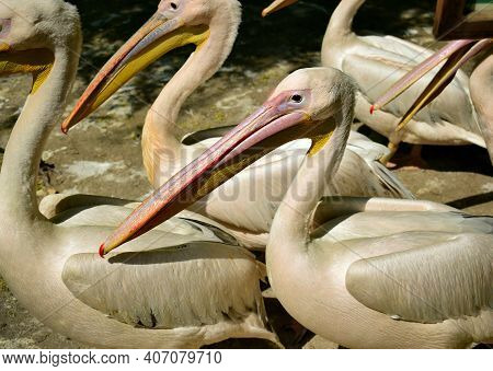 Many Pelicans With Long Beaks Close Up. Pelican Colony With Many Birds In The Wild Or At The Zoo. Gr