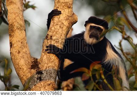 The Mantled Guereza (colobus Guereza), Also Known As The Guereza, The Eastern Black-and-white Colobu