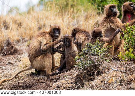 Family Of Ethiopian Endemic Animal Monkey Gelada Baboon In Social Grooming. Theropithecus Gelada, De