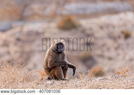 Chacma Baboon, Papio Ursinus Sitting On The Hill Edge, Also Known As The Cape Baboon Near Bridge Ove