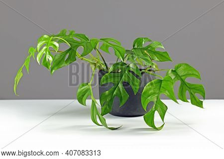Tropical  Houseplant With Botanic Namev Rhaphidophora Tetrasperma With Small Leaves With Holes In Bl