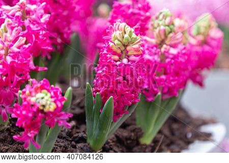 Hyacinth Flowe At Winter Or Spring Day. Lovely Spring Hyacinth Flowers. Spring Flower Landscape. Spr