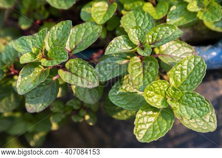 Mint Texture Or Mint Background. Green Mint Leaves. Fresh Raw Mint Leaves. Mint Leaves From Garden.