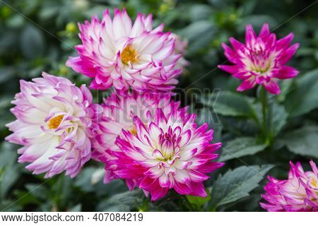 Colorful Dahlia Flower In The Park. Colorful Flower. Flower In Garden At Spring Day. Flower For Post