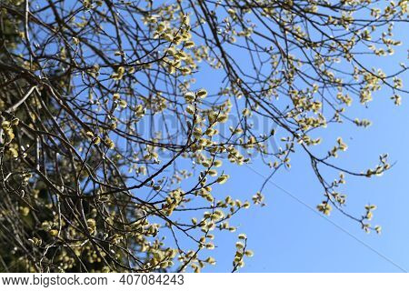Blooming Pussy Willow On A Background Of Blue Sky