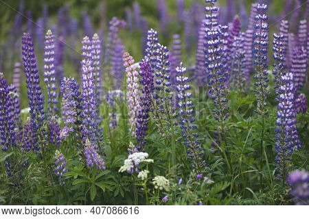 Field With Lupine Purple Flowers. Blooming Lupine Flowers. Lupine Field. Purple Spring And Summer Fl