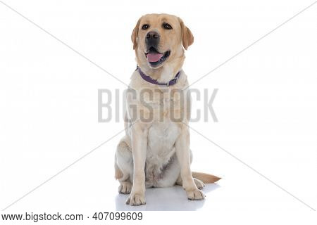 sweet labrador retriever dog sticking out tongue and wearing a purple leash on white background