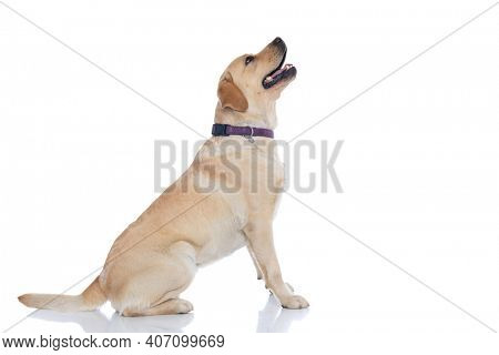 side view of a seated labrador retriever dog looking what's above him out of curiosity against white background