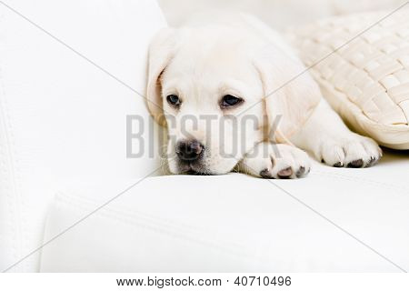 Close up of sad labrador puppy lying on the white leather sofa with the pillow