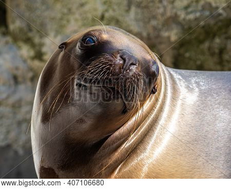 The South American Sea Lion, Otaria Flavescens, Formerly Otaria Byronia, Also Called The Southern Se