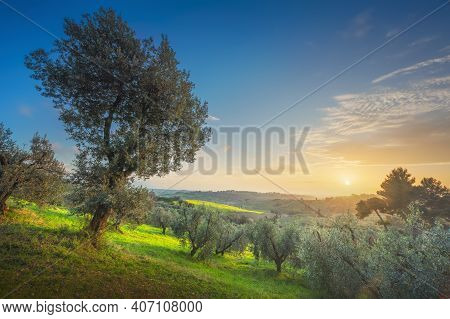 Maremma Countryside Panoramic View, Olive Trees, Rolling Hills And Green Fields. Sea On The Horizon.