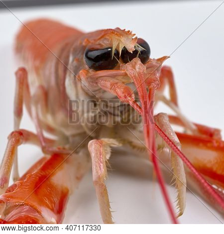 Norway Lobster From The Estuaries Of Galicia, In Spain. Norway Lobster Are One Of The Most Expensive