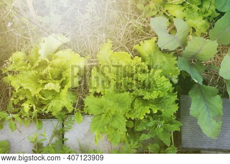 Leafy Greens In Vegetable Garden.summer Shot.high Quality Photo