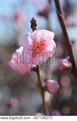 Nectarine Big Top Flowers - Latin Name - Prunus Persica Var. Nucipersica Big Top