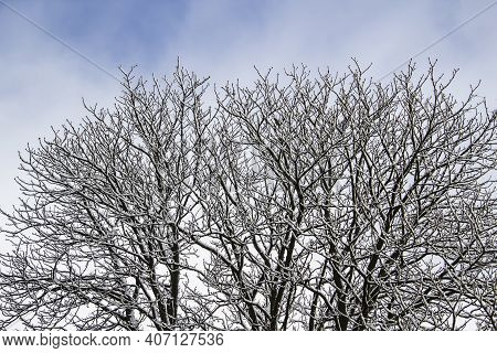 A Tree Branches With Snow On It. Looking Up To Sky Through Tree Branches. Beautiful Black Branches I