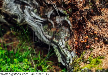 Beautiful Small Mushrooms With Orange Caps On Old Mossy Log Closeup. Scenic Nature Background With G