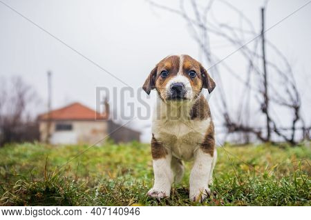 Little Cute Dogs Playing In The Yard. Beautiful Little Puppies Walk On The Grass In The Yard. Animal