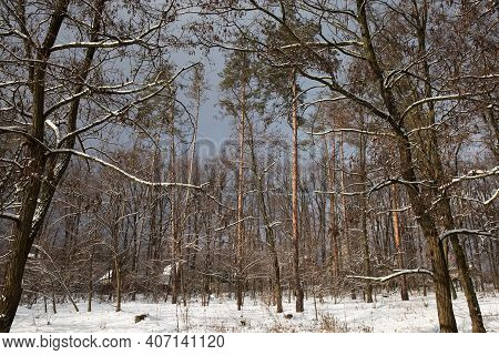 Section Of The Winter Forest With Coniferous And Deciduous Trees And Old Locust Trees On A Foregroun