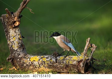 The Iberian Magpie (cyanopica Cooki) Sitting On The Trunk Of A Fallen Tree With Green Background.som