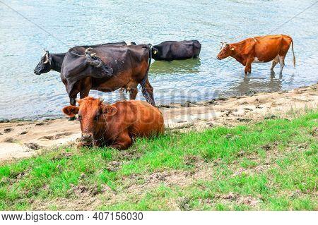 Domestic Cows At Riverside . Farm Animals At The River Shore