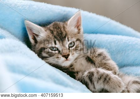 Tabby Gray Kitten Lying Resting On His Back. Cat Kid Mammal Animal Pet With Interested Facial Face L