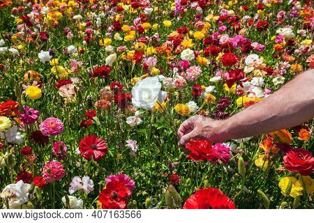 Strong male hand rips off white buttercup. Beautiful spring day. The field of large spring buttercups. Picturesque multicolor floral carpet. The concept of botanical, environmental and photo tourism