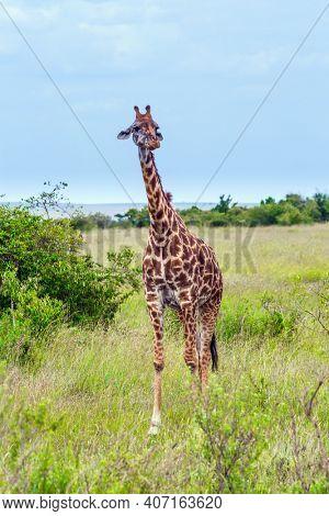 Giraffe with beautiful spotted skin and small horns african savannah. Portrait. Jeep Safari Masai Mara, Kenya. The concept of active, environmental and photo tourism