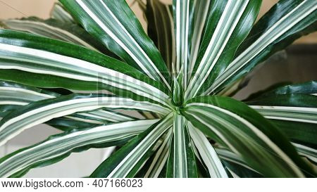 Indoor Dracaena With Narrow Striped Leaves Of White-green Color Close-up, Vegetable Fresh Background