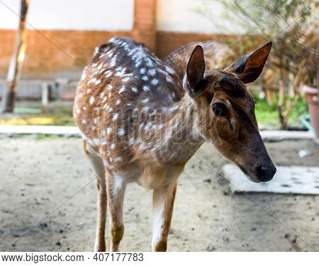 A Beautiful Spotted Young Deer Close Look