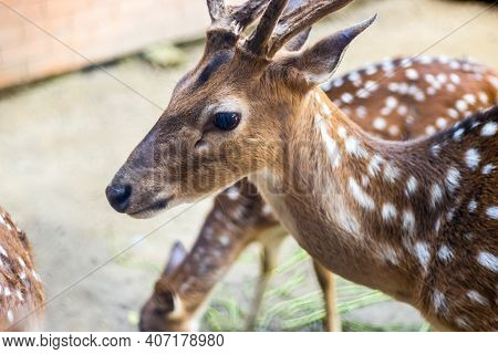 Beautiful Young Chital Or Spotted Deer Close Look