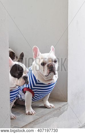 French Bulldog Or Squint-eyed French Bulldog And White French Bulldog On The Floor
