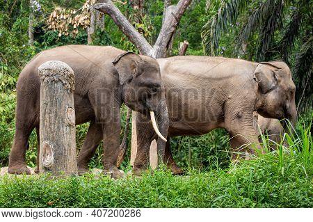 A Herd Of Sumatran Elephants At Taman Safari Park, Indonesia