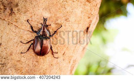 Rhinoceros Beetle Or Dynastes Hercules On Tree