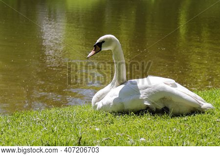 Swan Munch Rest On The Grass Near The Lake