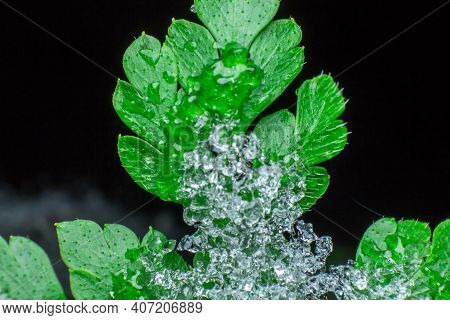 Green Leaf Covered With Crystals Of Snow And Ice, Melting Snow Or Ice, Concept Of The Arrival Of Spr