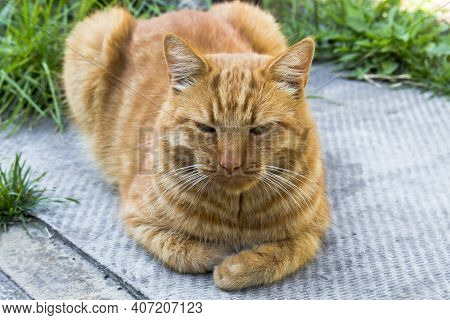 Large Adult Red Cat Sitting On The Ground Looking At The Camera