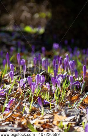 Purple Crocus Flower Blooming. Beautiful Nature Scenery In The Park. Sunny Weather. Close Up Shot Wi