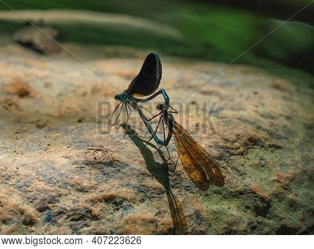 Macro Shot Of Two Dragonflies Mating On A Rock