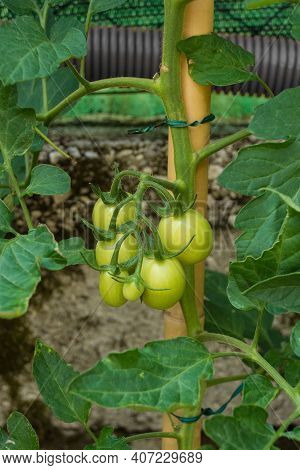 A Bunch Of Unripe Heirloom Moneymaker Tomatoes, Solanum Lycopersicum, Growing On The Vine In Friuli-