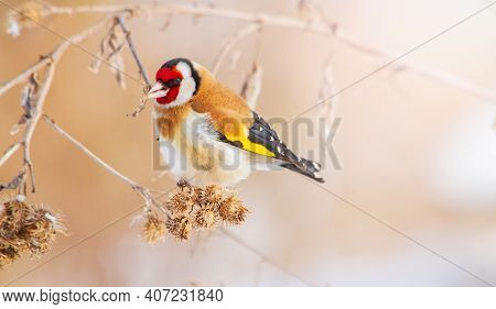 Goldfinch Sits On A Burdock Hooked Burs Among Winter