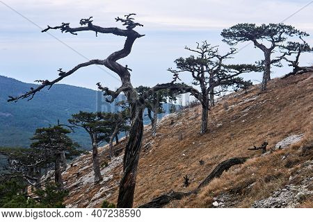 Partly Dead After An Old Fire, Bizarrely Twisted Pines On A Hillside